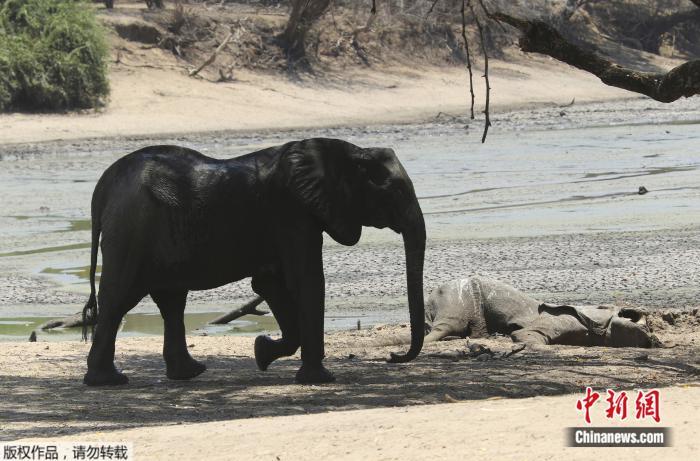 大象死于致命干旱是怎么回事(105头大象因缺水死亡)