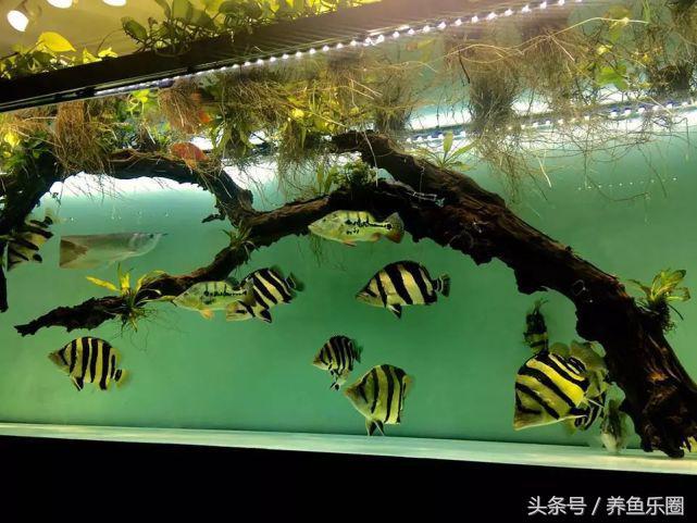 苏门答腊虎鱼和印尼虎的区别(两者区别介绍和养殖攻略)